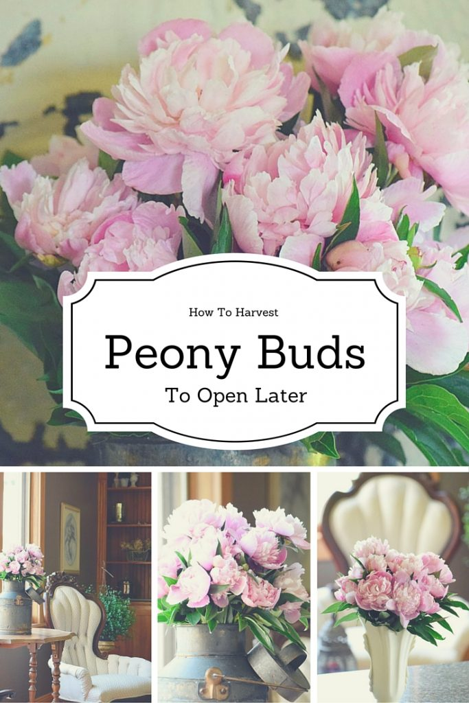 How-to-harvest-peony-buds-to-open-later